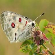 -Apollo Butterfly-Geraldine Stephenson ARPS DPAGB