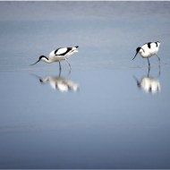 -Avocets-Ray Allen