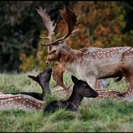 -Common and Melanistic Fallow Deer-Paul Smith