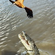 -Crocodile Jumping for Sea Eagle-Harvey Bird