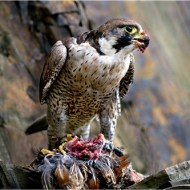 -DSC 0331 Peregrine with Kill-Peter Gennard MFIAP EFIAPp