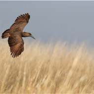 Highly Commended-Hamerkop in Flight over Reedbed-Dawn Osborn FRPS EFIAP BPE5 DPAGB