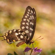 Highly Commended-Speckled Wood Butterfly-Kaz Diller