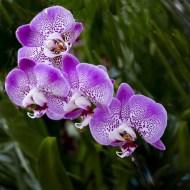 -Hybrid Orchid Phalaenopsis-Keith Rowe