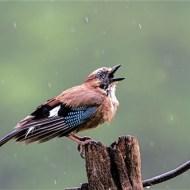 -Jay Calling in the Rain-Robert Gerald Tunstall