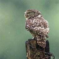 -Little Owl (Wild)-Robert Gerald Tunstall
