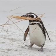 -Magellanic Penguin Carrying Nesting-Dawn Osborn FRPS EFIAP BPE5 DPAGB