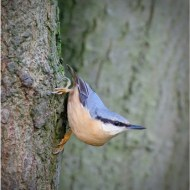 -Nuthatch-Ray Allen
