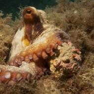 -Octopus VulgarisCommon Octopus-Arnaud Lenoir