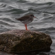 -Redshank on Rock-Andy Fryer
