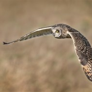 Second-Wild Short Eared Owl Hunting .-David Myles