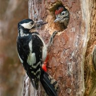 Third-Greater Spotted Woodpecker Feeding Young .-David Myles