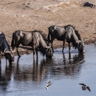 -Wildebeeste Drinking Namibia-Keith Rowe