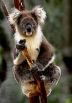 BROWN KOALA AUSTRALIA