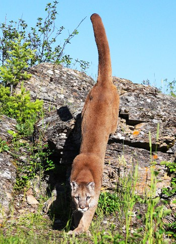 PUMA LEAPING FROM ROCK U S A