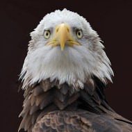 Commended-Bald Eagle-Sheila BallantyneSmith
