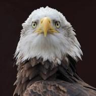 Commended-Bald Eagle-Sheila BallantyneSmith