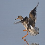 Highly Commended-Redshank TouchDown-Van Greaves