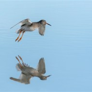 -Redshank in Flight-Michael Windle