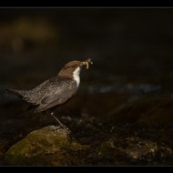 Commended-Dipper with Catch DSC6182-Philippa Wheatcroft