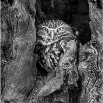 Highly Commended-Little Owl-Mick Jennings