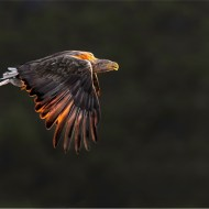 White-Tailed Eagle at Sunset-Michael Windle