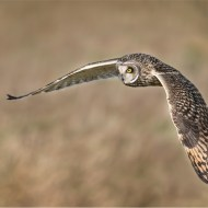 Wild Short Eared Owl Hunting- David Miles