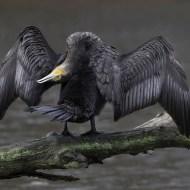 Second Basking Cormorant Kerry Allen