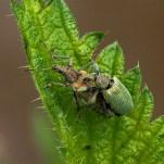 Commended Green Nettle Weevils Mating Geraldine Stephenson