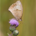 Commended Meadow Brown Vernon Sue