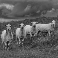 Highly Commended Eyes on Ewe Kerry Allen