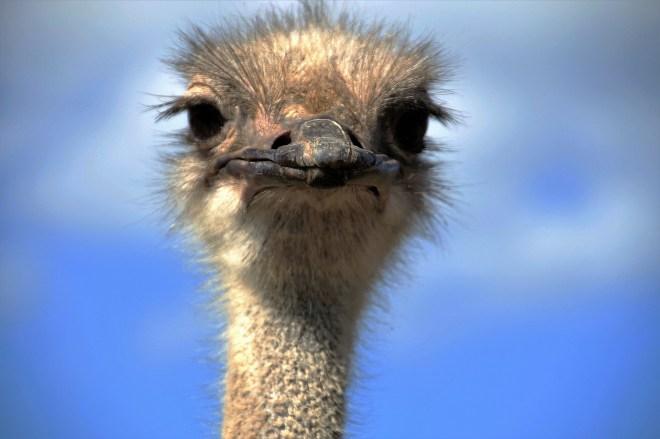 the-ostrich-1658258_1920