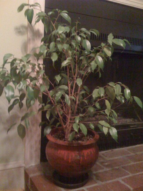 ... in my apartment. This is the baby ficus Eileen gave me before she moved to Texas. It's almost three feet tall now.