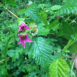 Salmonberry flowers!