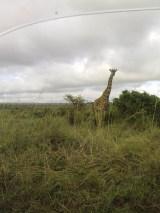 la giraffa è comunque la mia preferita