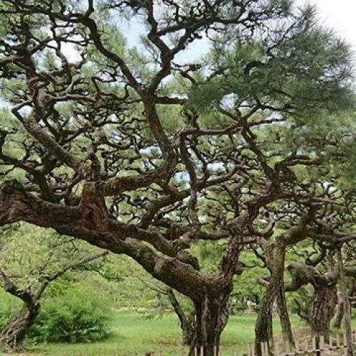 【香川県】栗林公園 立派な松すごすぎる!ジャンボ盆栽にかこまれているようです
