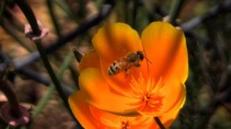 bees poppy