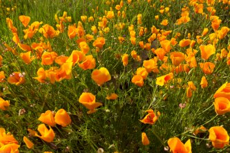 poppies along the tracks 5