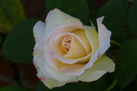 pretty rose 3