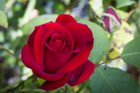 pretty rose 2