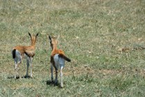 Little impalas
