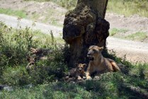 Lion mommy and her kids