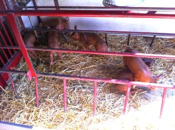 72_baby pigs1
