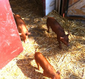 73_baby pigs2