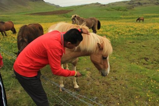 friendly Icelandic horses