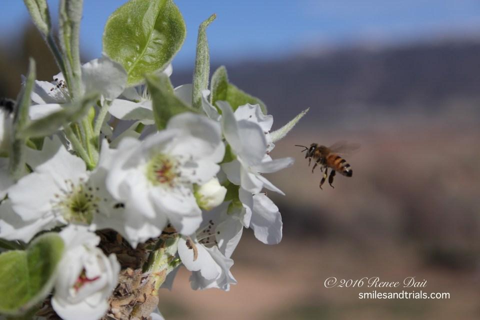 3521 pear blossom