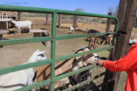 6160 red acre sd16 goats