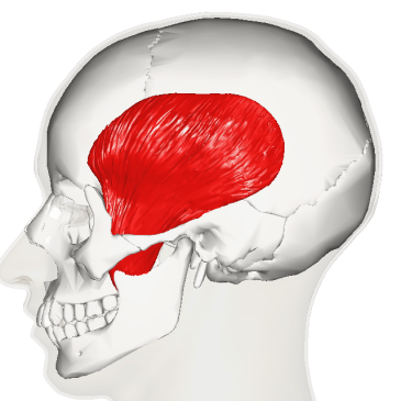 Lateral aspect of temporalis muscle