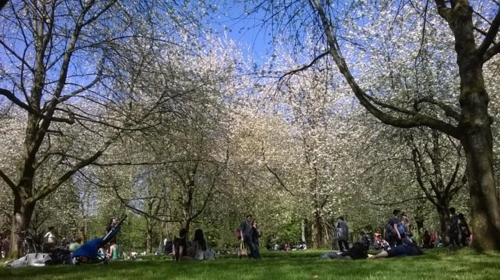 急げソー公園の桜!100年来の暑い三月で桜開花早まる
