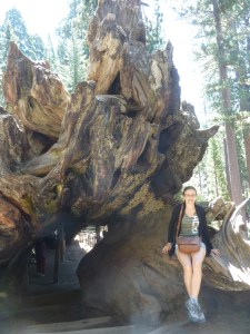 Le séquoia tombé et creusé